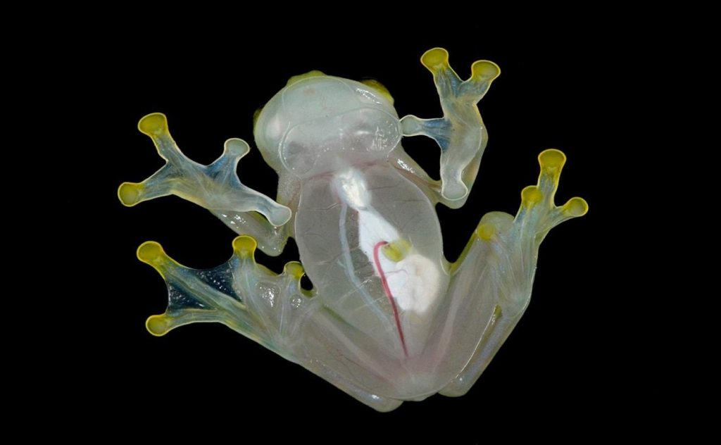 glass_frog-min